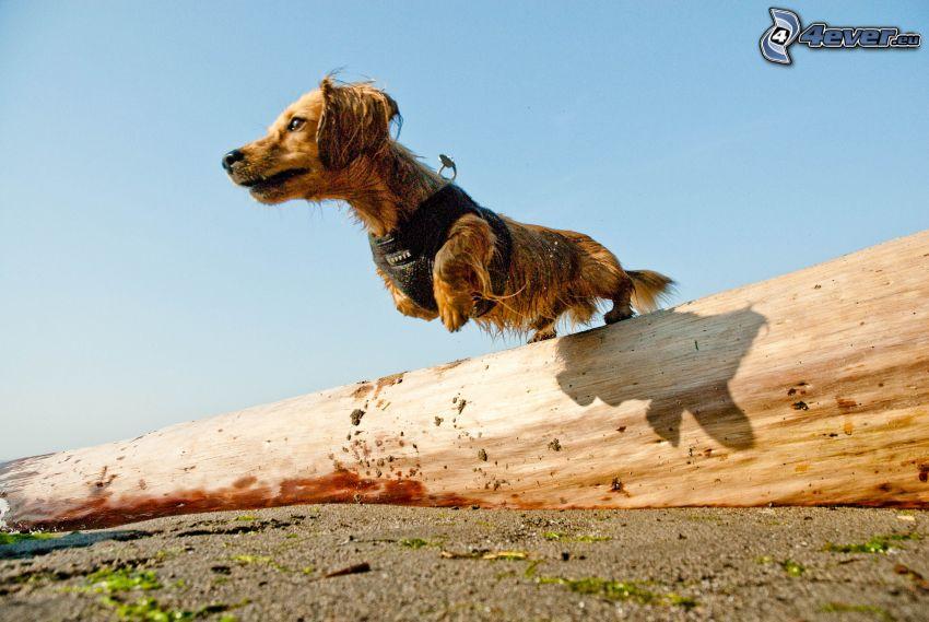 perro salchicha, salto, tribu