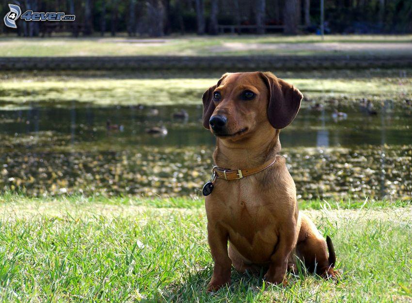 perro salchicha junto al río, perro cerca de un lago, césped