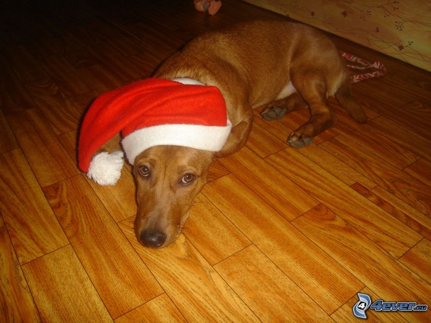 perro salchicha vestido, gorra de San Nikolás, Papá Noel