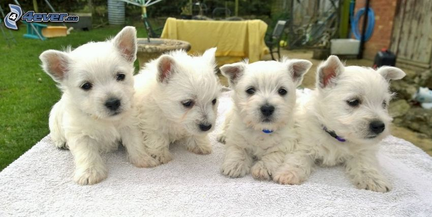 perro Westik, cachorros, jardín