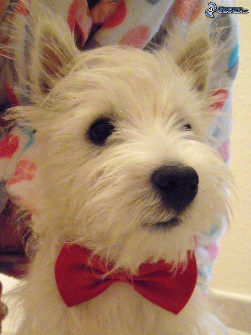 perro Westik, corbata de lazo