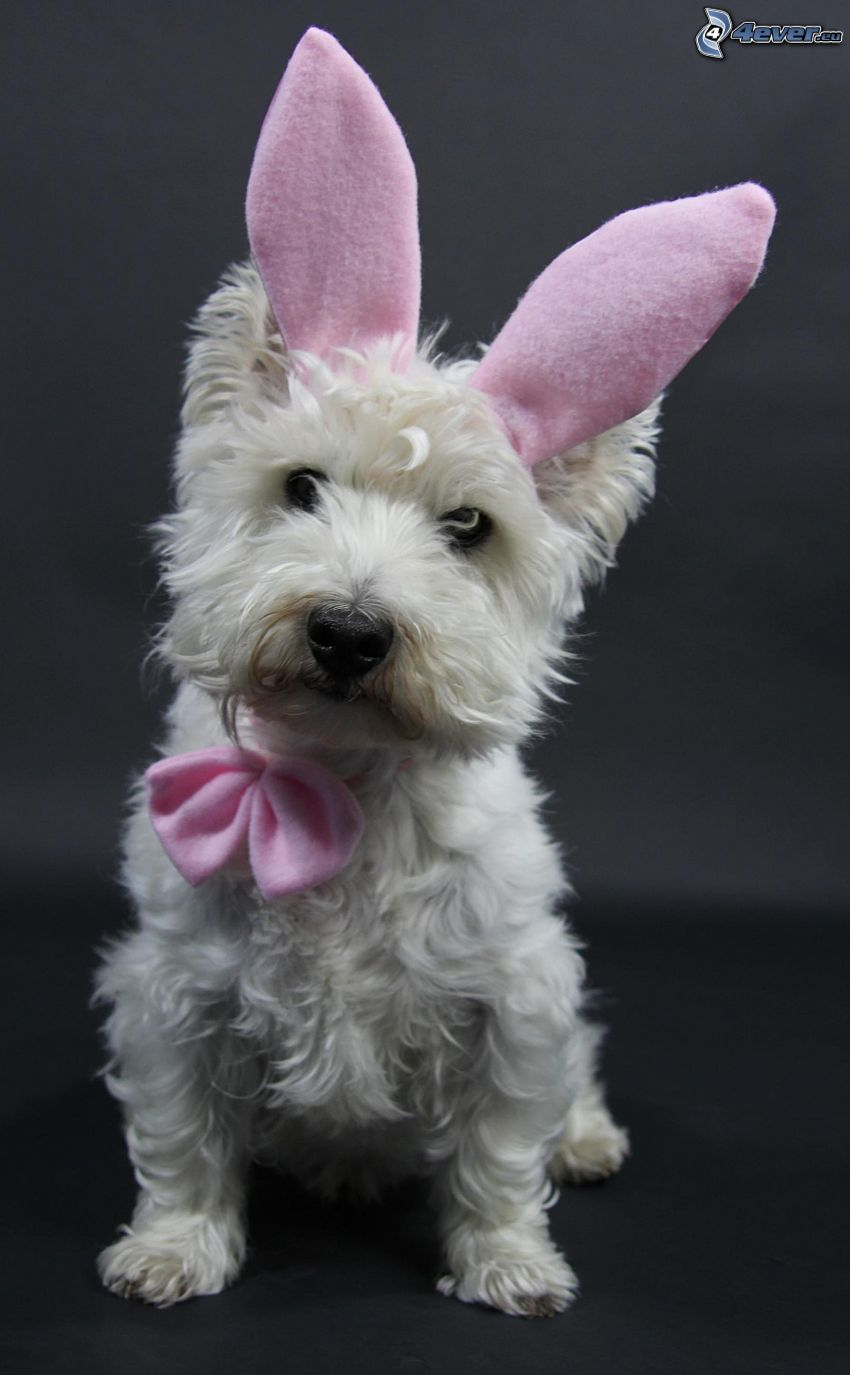 perro Westik, pequeño perrito blanco, orejas largas, corbata de lazo