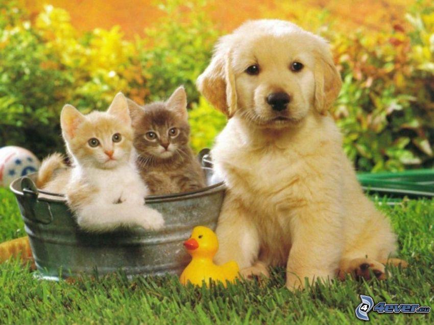 Perro y gato, Labrador cachorro, hierba