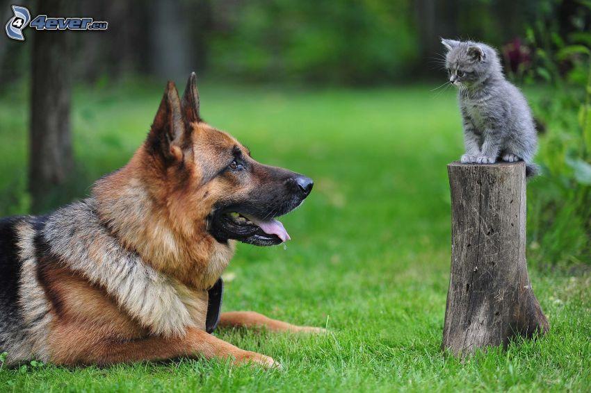 Perro y gato, pastor alemán, gatito gris, tronco