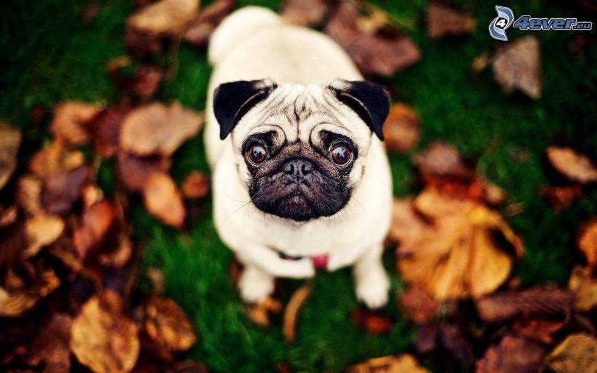 pug, mirada de perro