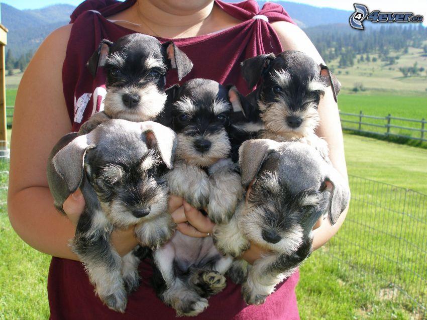schnauzer miniatura, cachorros