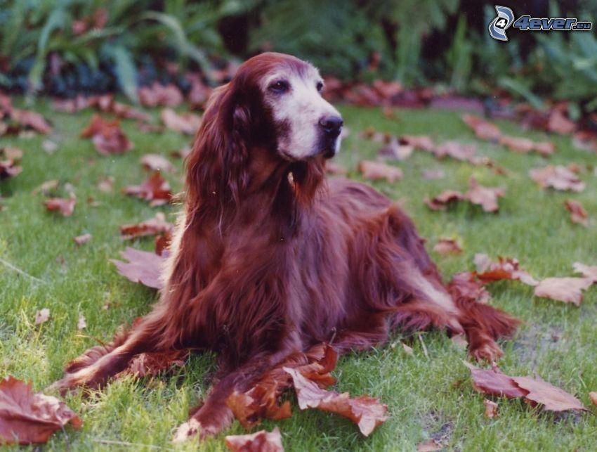 Setter irlandés, hojas de otoño