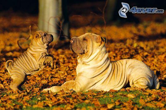 Sharpei, cachorros Sharpei, hojas de otoño
