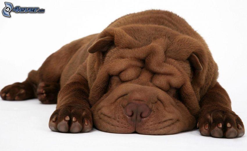 Sharpei, perro durmiendo