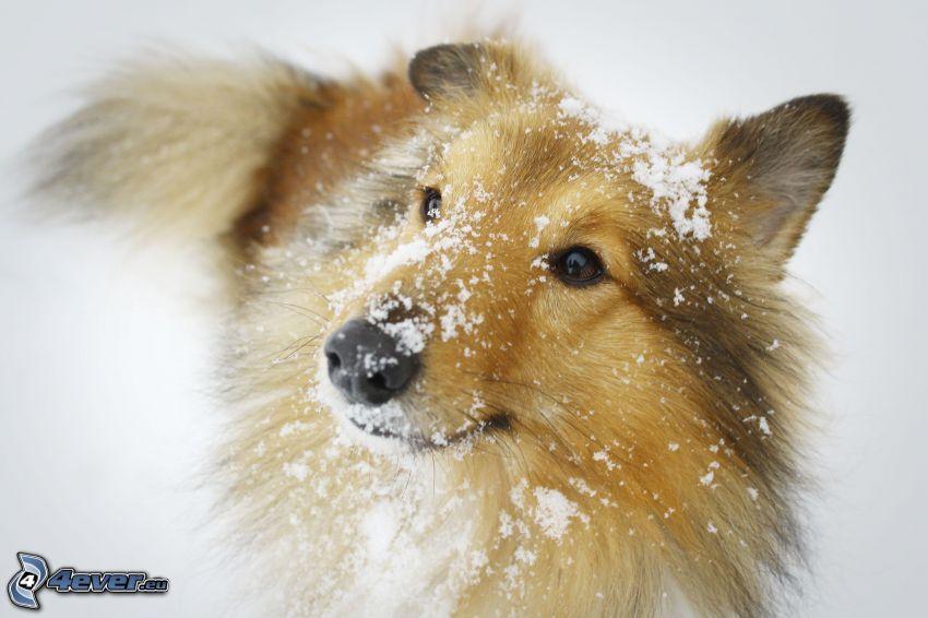 sheltie, nieve
