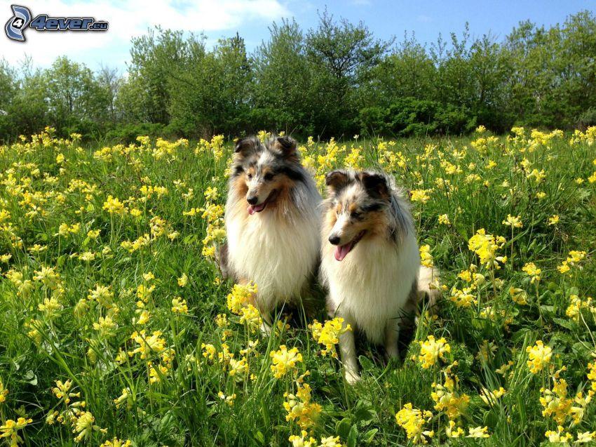 sheltie, prado, flores amarillas, árboles