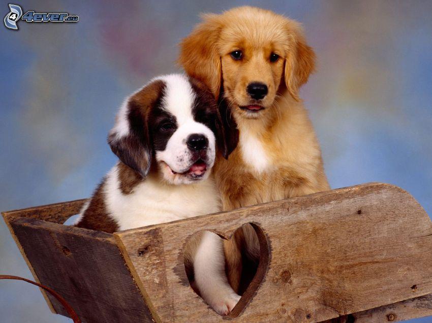 St. Bernard, golden retriever, cachorros en una camioneta, corazón