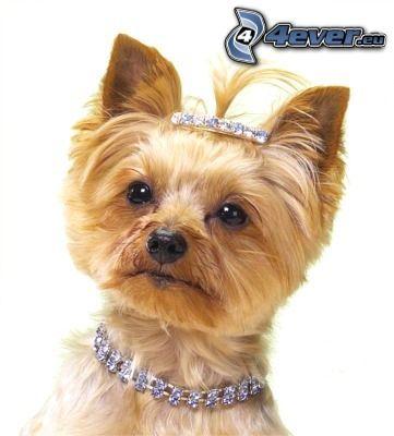 Yorkshire Terrier, perro peinado, collar