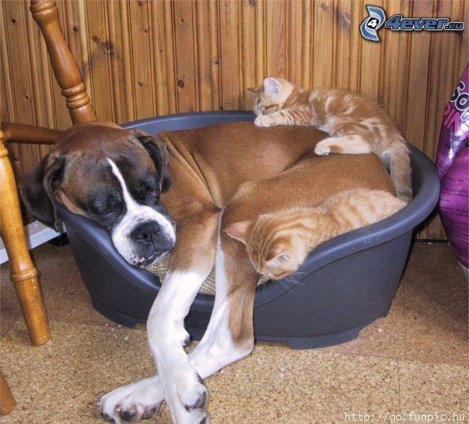 Perro y gato, Boxer