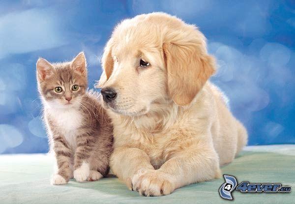 perro y gato, golden retriever