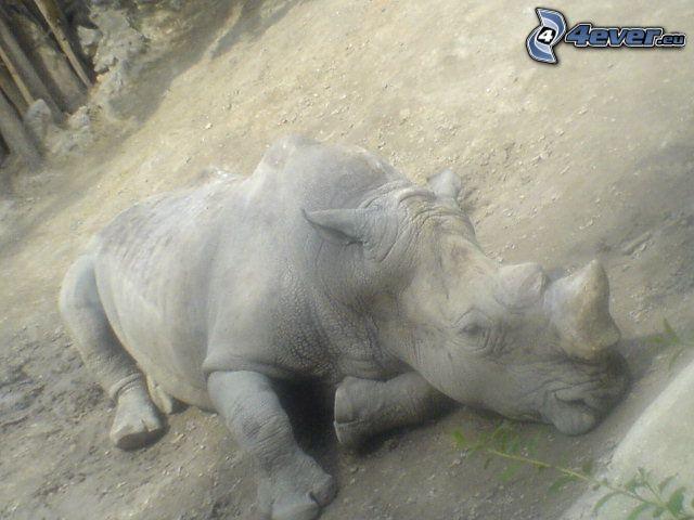 rinoceronte, animal, dormir