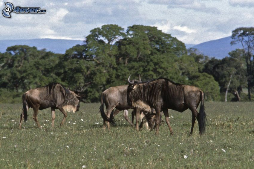 antecesor de caballo, prado, árboles