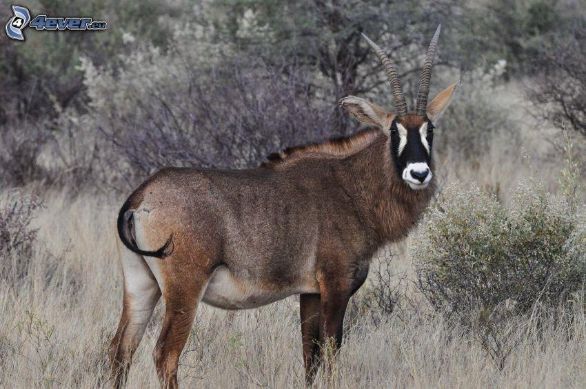 Antilope negra, sabana