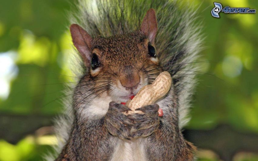 ardilla, cacahuates