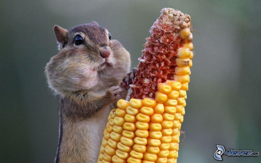 ardilla, maíz seco