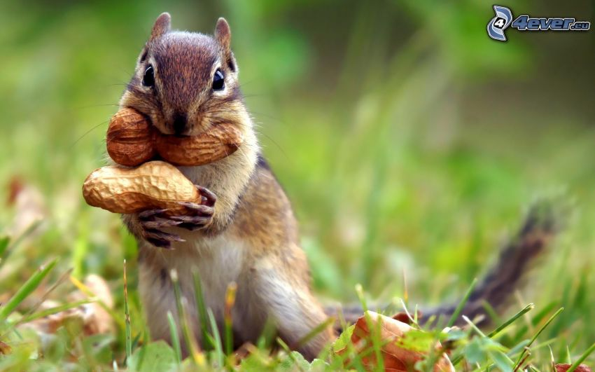 ardilla en la hierba, cacahuates, nueces