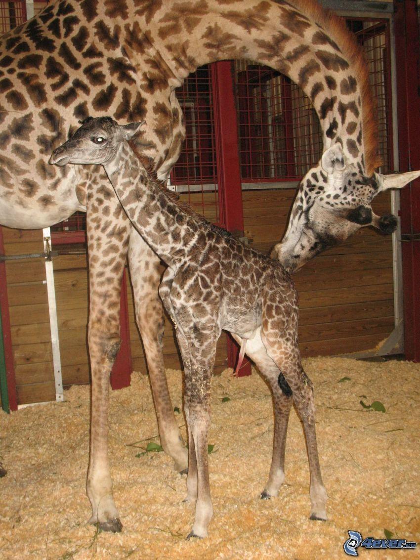 bebé de jirafa, familia de las jirafas