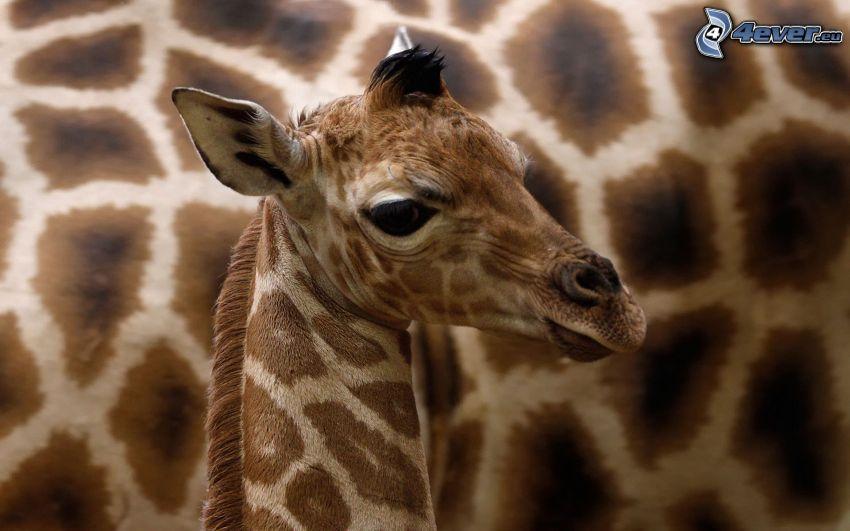 bebé de jirafa