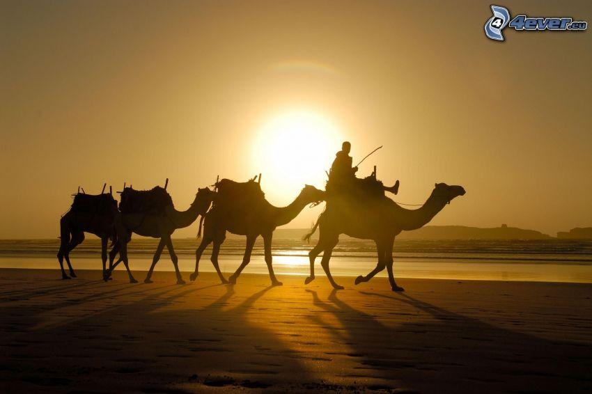 beduinos en camello, siluetas, desierto, puesta del sol