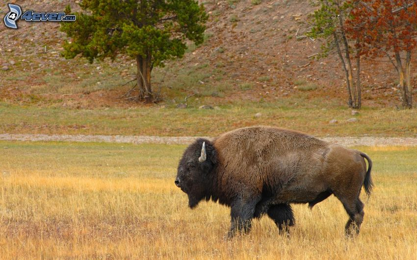 bisonte, hierba seca