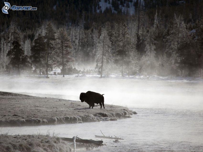 bisonte, paisaje de invierno, niebla baja