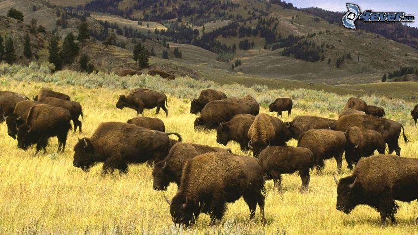 bisontes, hierba amarilla