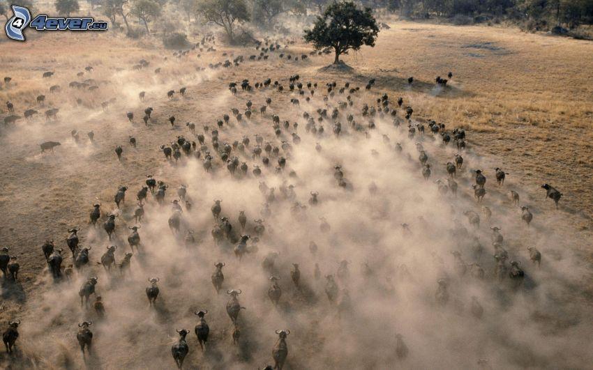 byvoly, manada de animales, polvo, prado, árbol solitario