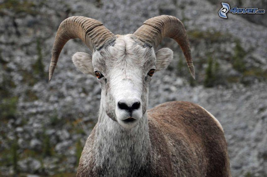 cabra, roca