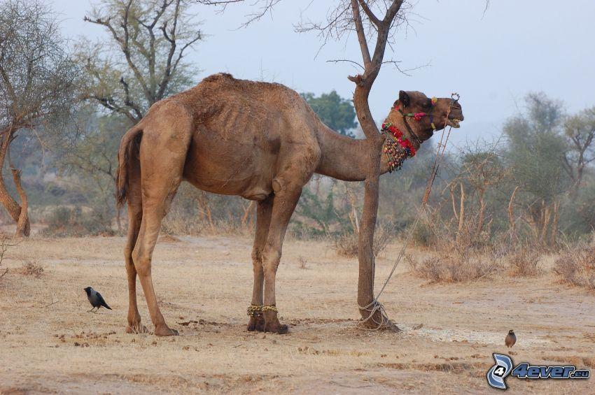 camello, árboles secos