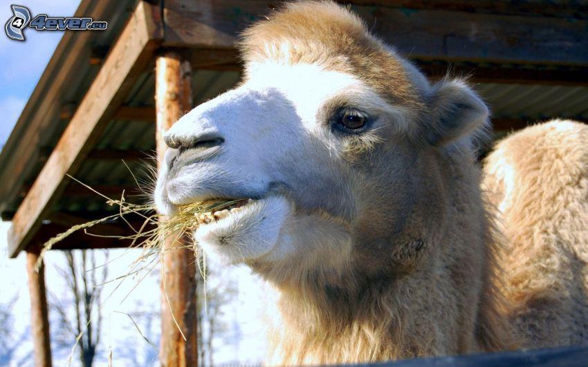 camello, heno