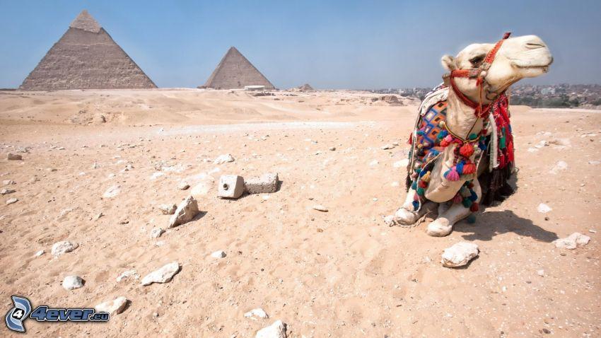 camello, pirámides, desierto
