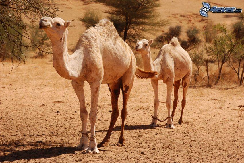camellos, árboles secos