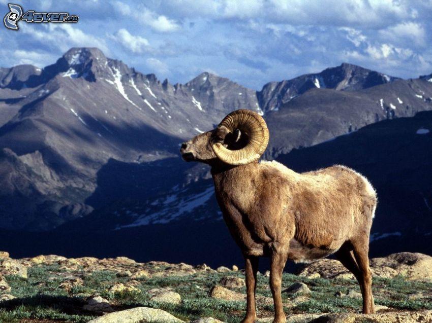 carnero, montaña rocosa