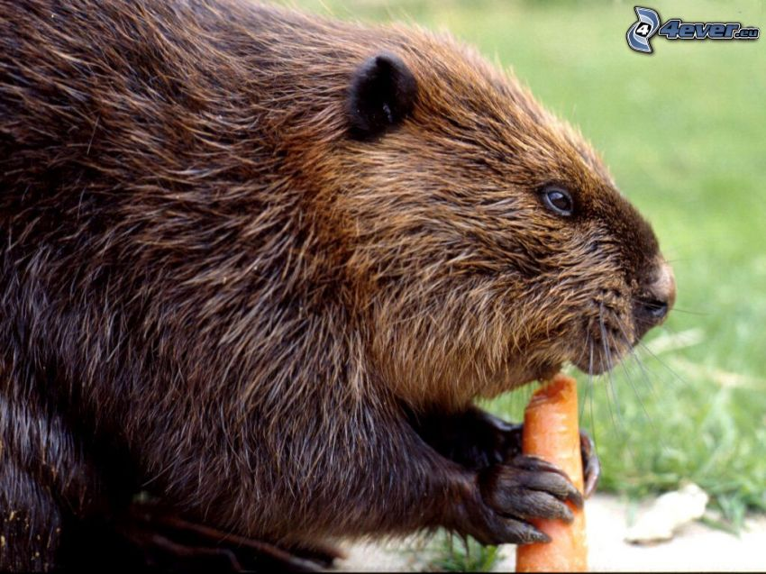 castor, zanahoria