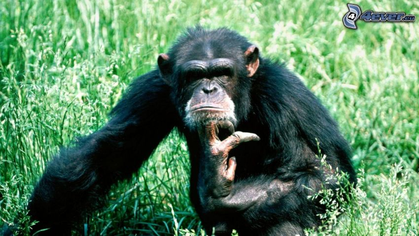 chimpancé, hierba verde