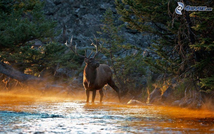 ciervo, bosque, río
