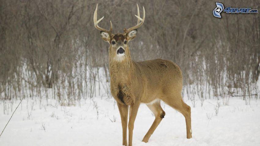 ciervo, nieve