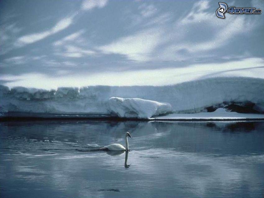 cisne, agua, nieve