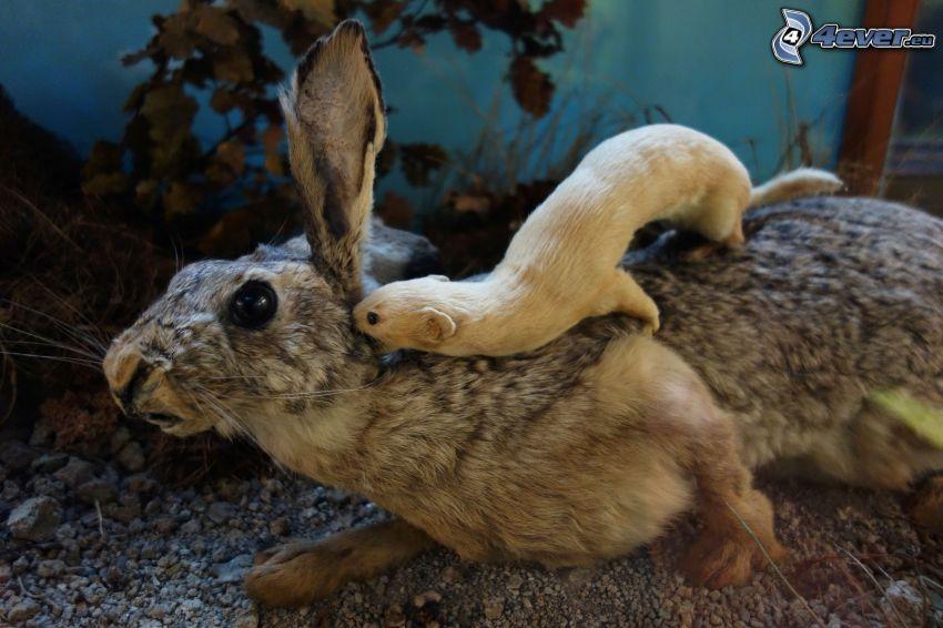 comadreja, conejo