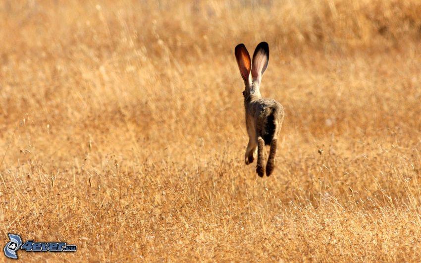 conejo, campo, hierba seca