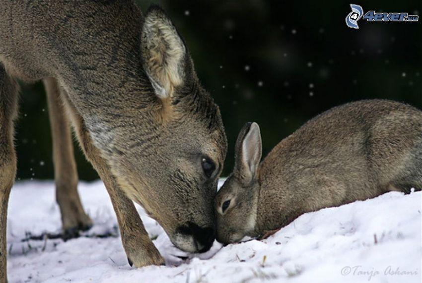 corza, conejo, nieve