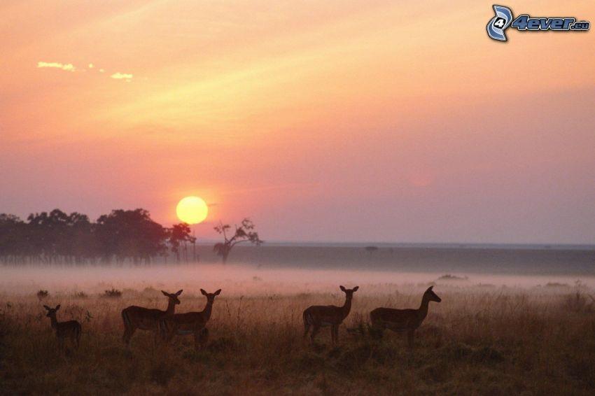corza, puesta de sol en la pradera, campo
