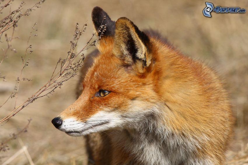 dingo, mirada, hierba seca