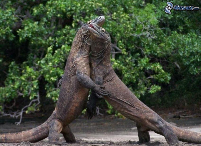 Dragón de Komodo, abrazar
