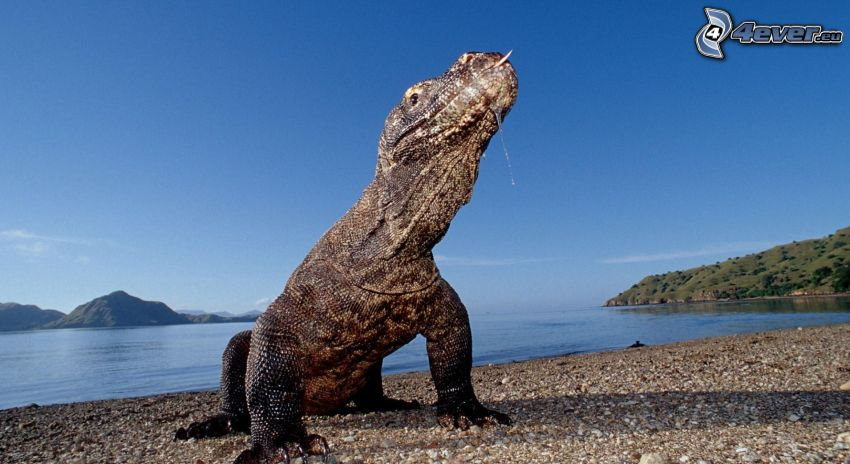 Dragón de Komodo, lagarto, playa rocosa, mar